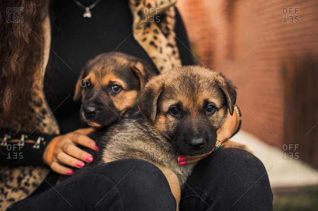 Close up of two puppies on the legs of a girl