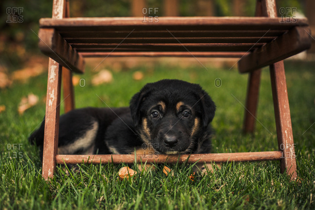 Cute dog resting under chair in a backyard lawn at sunset
