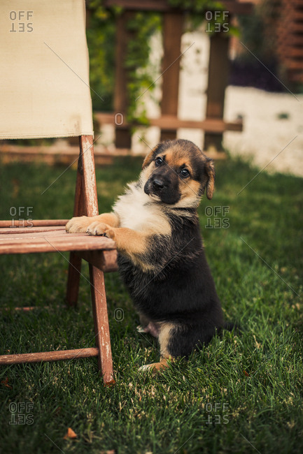 Cute dog sitting up on a chair in a backyard lawn at sunset