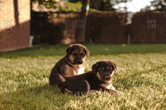 Cute puppy dogs on lawn in yard during sunset