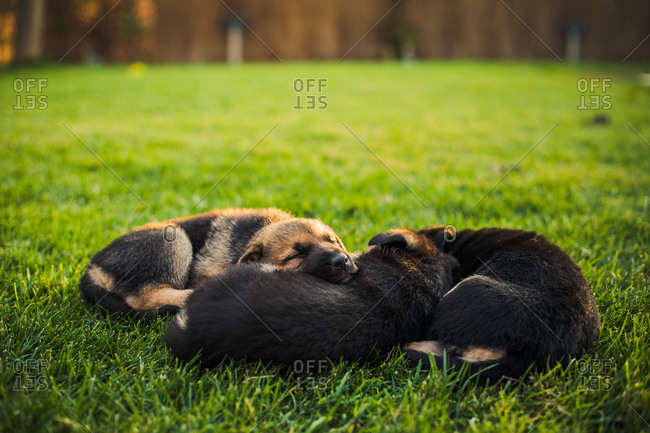 Cute puppy dogs resting on lawn in yard at sunset