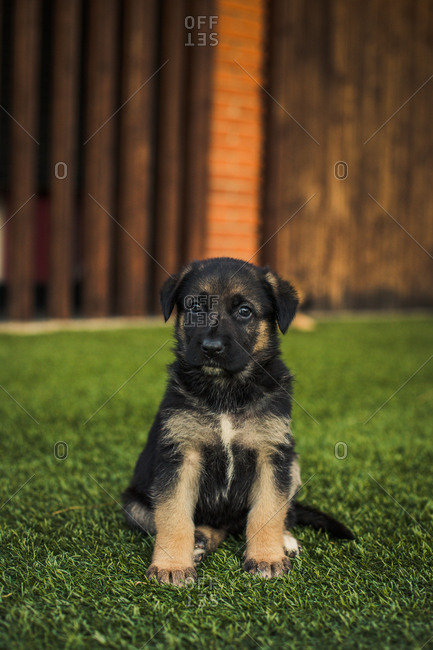 Portrait of a cute puppy dog on backyard lawn at sunset