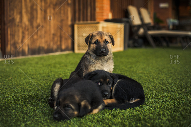 Cute puppy dogs together on backyard lawn at sunset
