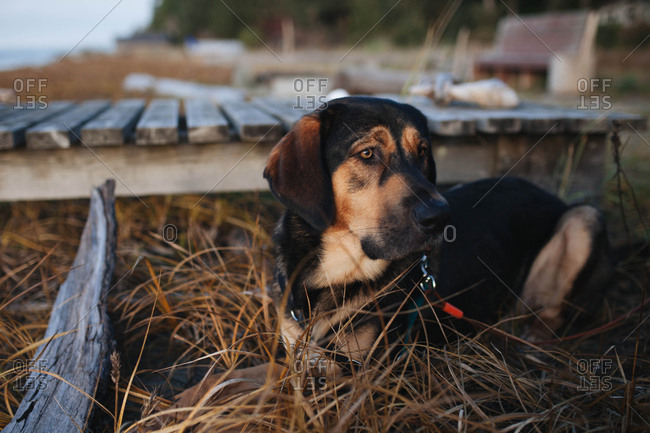 Black and brown dog sitting in tall grass by wooden dock