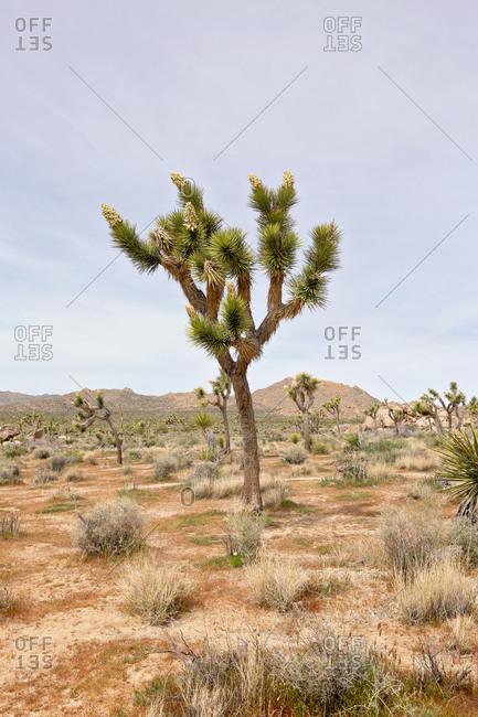 Joshua trees in desert setting