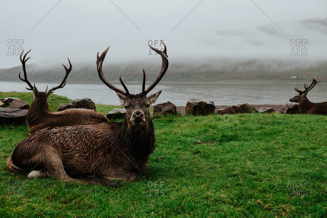 Herd of deers resting on grass near coast in Scotland with misty hills on other side