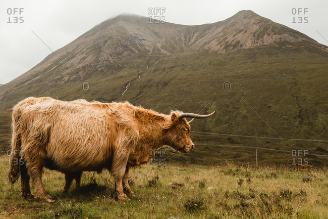 Side view of brown long haired Highland cattle standing grazing in meadow with fresh lush grass against green slope of mountain in overcast weather in Scotland