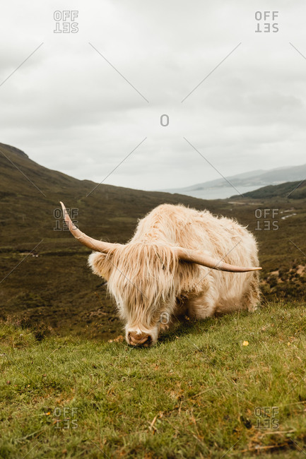 Cow grazing on green hills