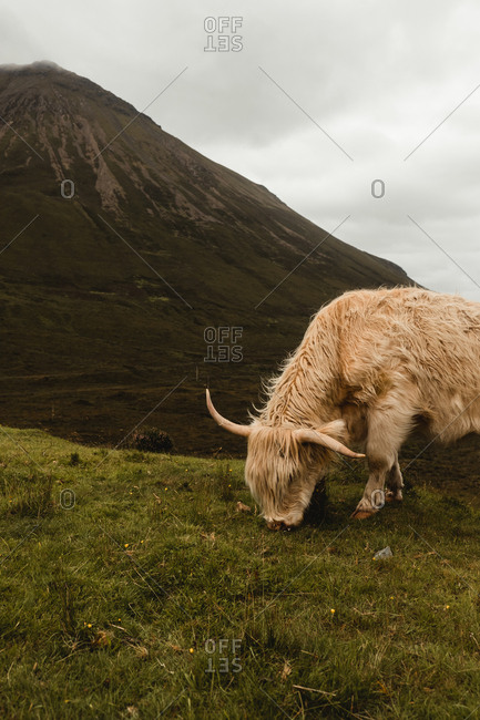 Side view of beige cow grazing on green hill with mountain peak and cloudy sky in background in Scottish highland