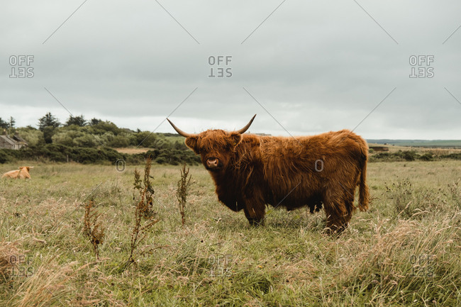 Highland cow grazing in green grassland at foot of mountain