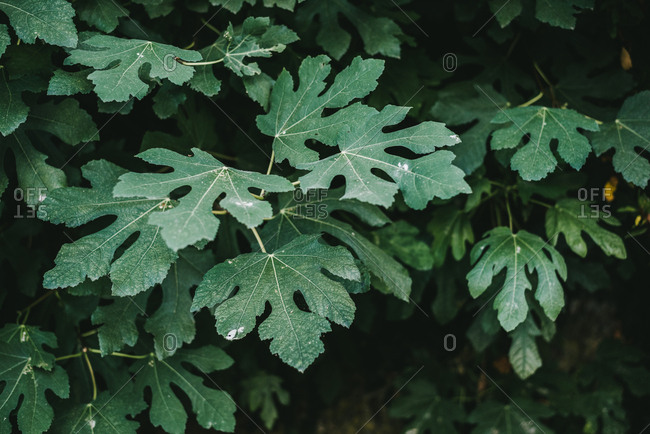 Leaves of fig plant in a forest