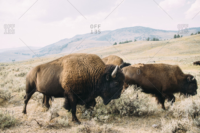 American Bison grazing on field against mountains and sky at Yellowstone National Park