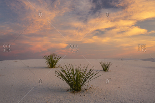Three yucca plants under bright colored clouds on white sand
