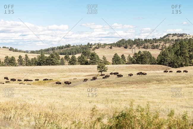 High angle view of American bison walking on field at Badlands National Park