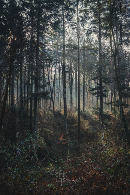 light rays stream through the fog and trees in the forest