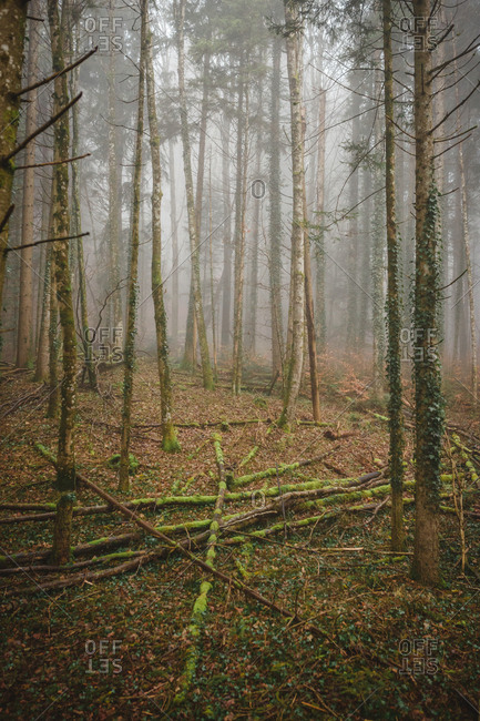 moss covered tree trunks on the forest floor in the fog