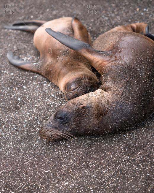 Cuddling baby sea lions