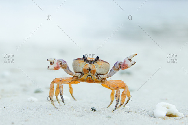 Close-up of a ghost crab in the sand