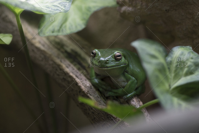 Green frog sitting on tree branch in shade at perth zoo