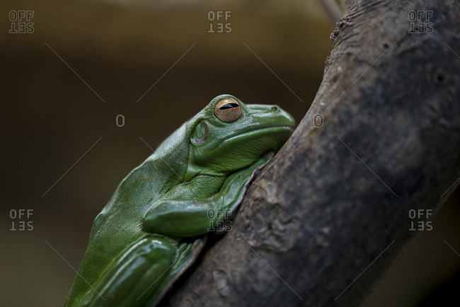 Side view of resting green frog on tree branch