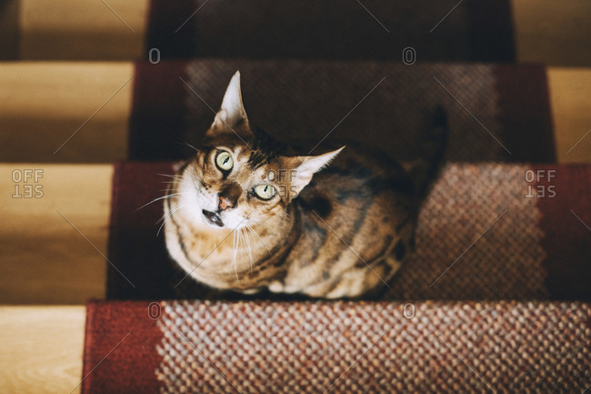 High angle portrait of cat sitting on carpet over steps at home