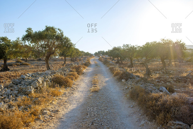 Palestinian olive trees in olive grove, taybeh, west bank, palestine