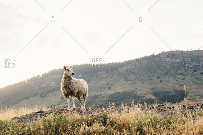 Sheep standing in field with mountains in background
