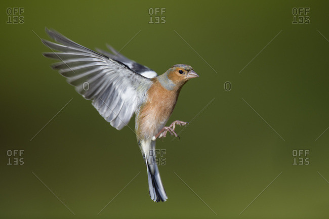 Male Chaffinch- Fringilla coelebs- flying