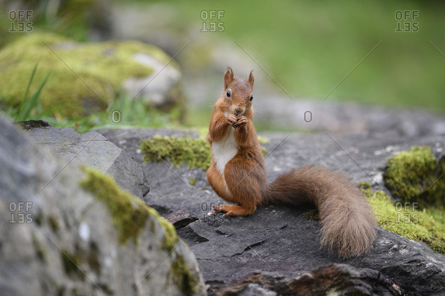 Red Squirrel eating on a rock