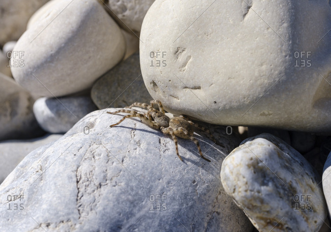 Germany- Bavaria- Geretsried- Wolf spider (Arctosa maculata) lying on rock
