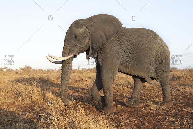 African elephant- Kruger National Park- South Africa