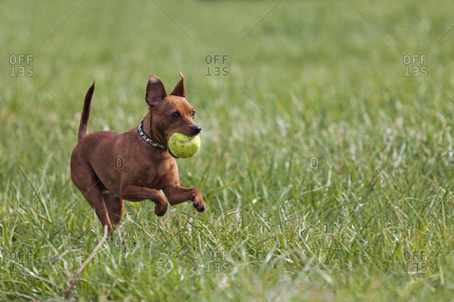 Red miniature pinscher playing with ball on a meadow