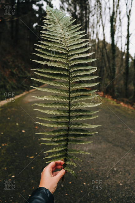 Crop person holding huge green leaf of fern against empty asphalt road among blurred dense forest with bare trees during daytime
