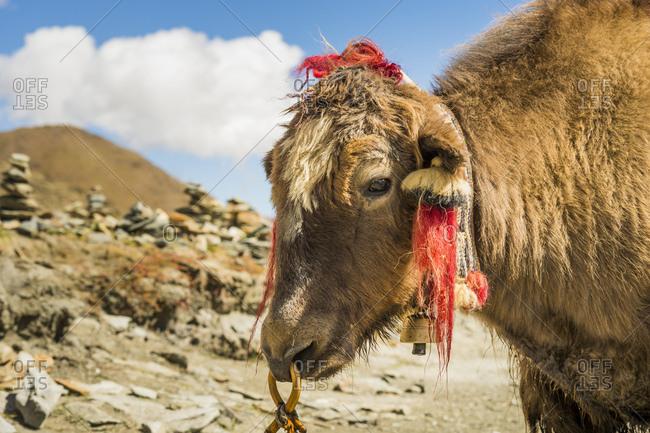 Tibet, yak on the Yamdrok Tso lake