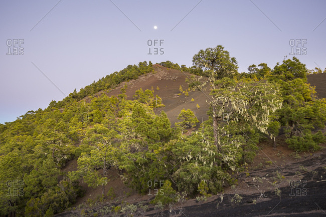 Volcano cone Montana Quemada (Tacande), lichens on the trees, area Llano del Jable, La Palma, Canary islands, Spain, evening recording