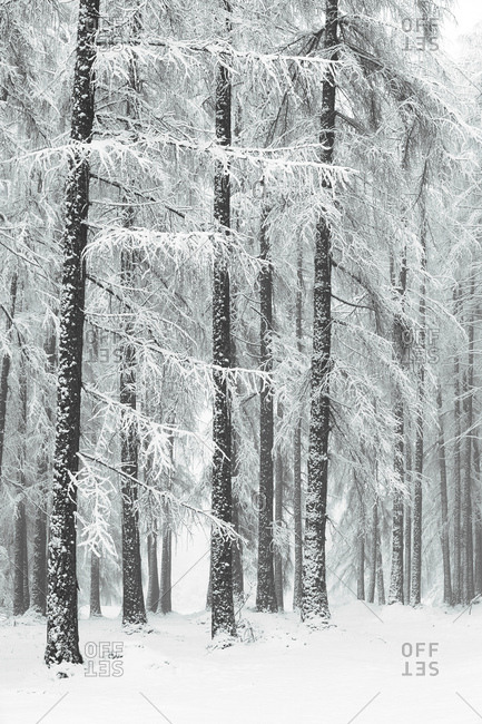 Larch forest in winter dress