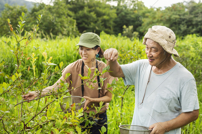 Japanese woman and senior man picking berries in a field.