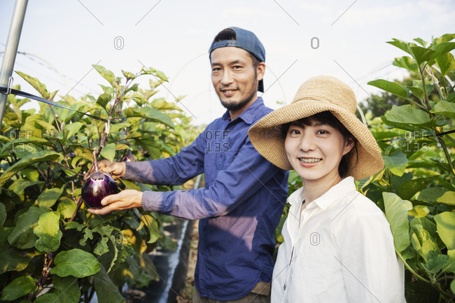 Japanese man wearing cap and woman wearing hat standing in vegetable field, picking fresh aubergines.