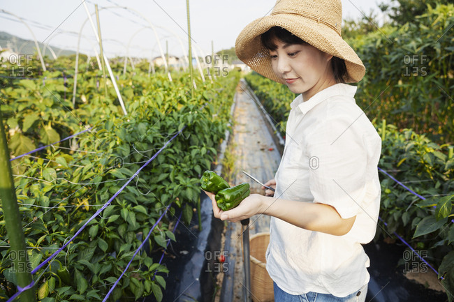 Japanese woman wearing hat standing in vegetable field, picking fresh peppers.