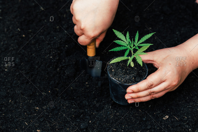 Cultivating fertilizing seedling, marijuana Earth Day is environ