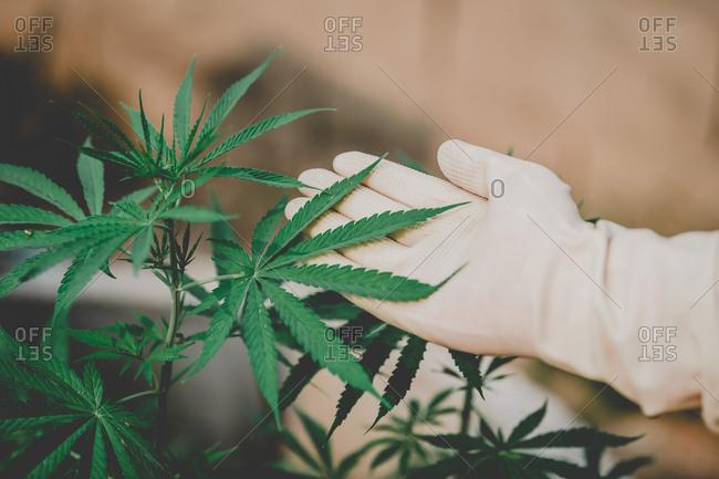 Farmers examine the growth of fresh marijuana for medical