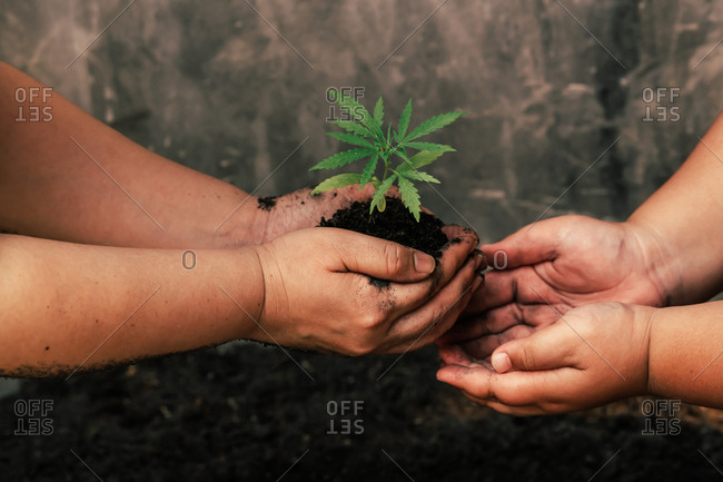 Children and mothers hold soil marijuana plant  separately. Earth