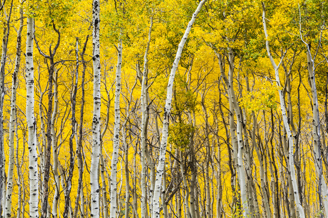 Aspen forest (Populous tremolites) in fall color in Vail, Colorado