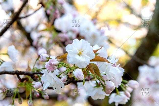 Cherry blossom season In Kyoto, Japan