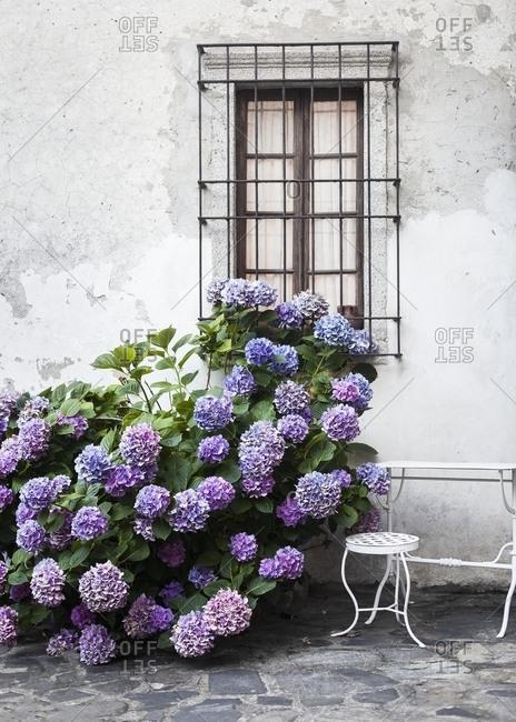 Beautiful purple hydrangea bush outside window