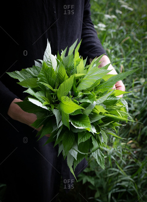 Person holding a bouquet of fresh picked leaves