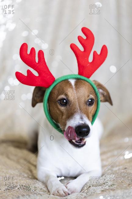 Jack Russell Terrier wearing Christmas antlers
