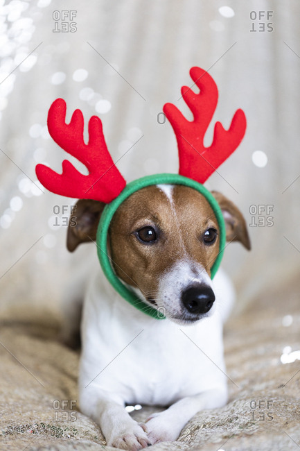 Adorable Jack Russell Terrier wearing Christmas antlers