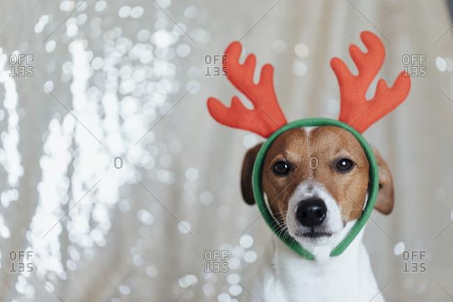 Cute Jack Russell Terrier wearing Christmas antlers