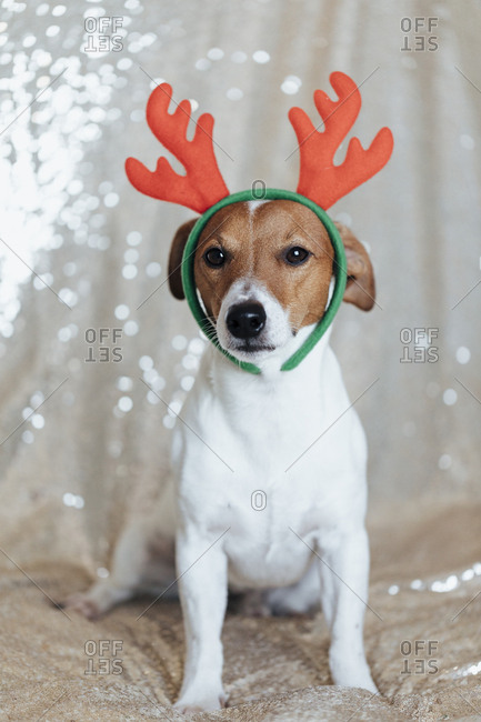 Jack Russell Terrier wearing Christmas antlers in front of light background